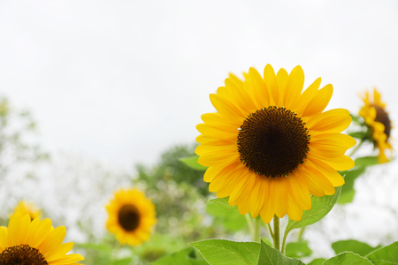 Sunflower blooming in the field with cloud and blue sky. Sunflower oil improves skin health and promote cell regeneration Stock Photo
