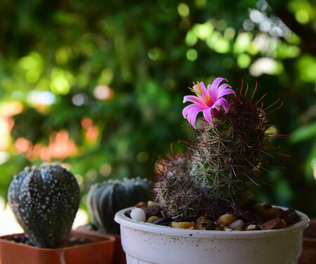 The pink cactus flower in pot blooming on green backgroun