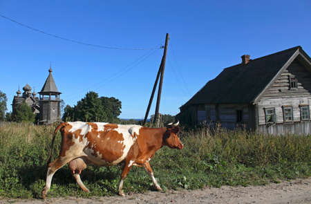 backwoods: Cow on the road