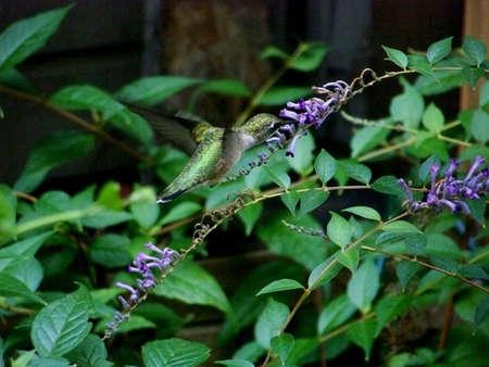 Female Ruby Throat Humming Bird