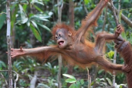 orangutan: Baby orangutan learning how to swing Stock Photo