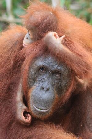 orangutang: Orangutan mother and baby