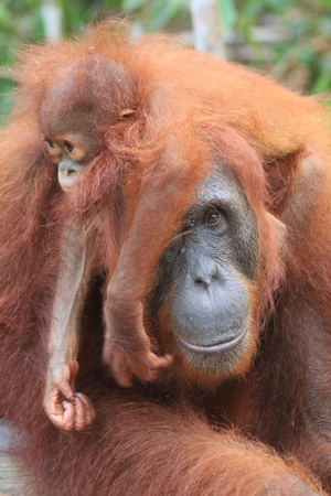 Motherhood- Mother and baby orangutan photo