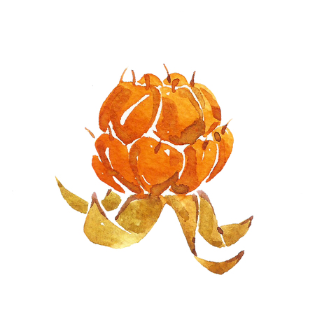 chicout�: Cloudberry  on white background. Watercolor. Banque d'images