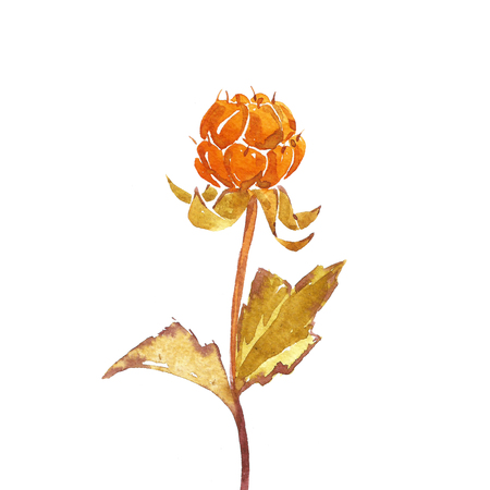 chicout�: Cloudberry branch on white background. Watercolor.