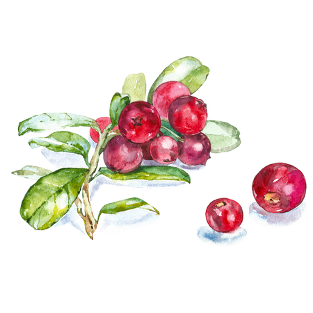 Hand drawn watercolor painting cranberry on white background