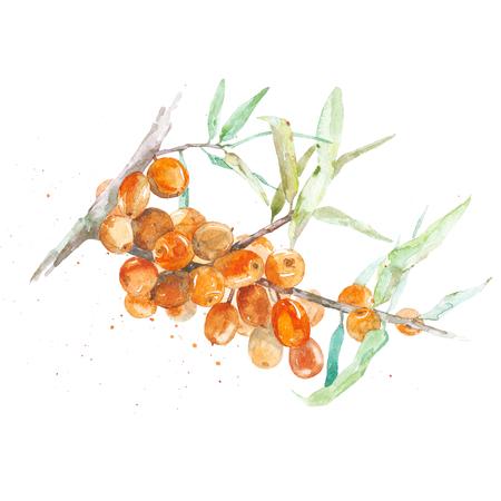 手描き水彩画海 buckthornon 白背景
