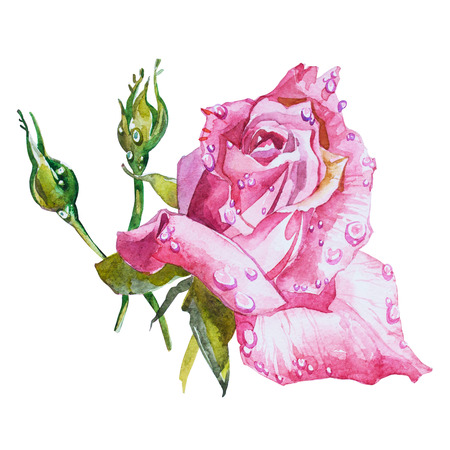 isoleted: Watercolor flowers Roses isoleted on white background.