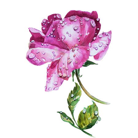 Watercolor flowers Roses isoleted on white background.