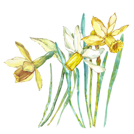 Spring flowers narcissus isolated on white background. Watercolor hand drawn illustration. Easter design.