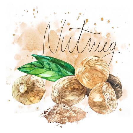 Nutmeeg. Watercolor hand drawn illustration. Realistic illustration