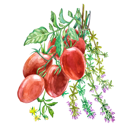 oregano: Roma Tomato with Thyme.Watercolor hand drawn illustration. Isolated on white background