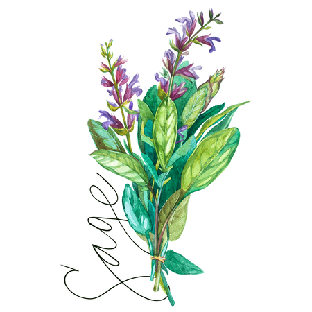 Botanical drawing of a Sage. Watercolor beautiful illustration of culinary herbs used for cooking and garnish.
