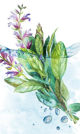 Botanical drawing of a Sage in water with bubbles. Watercolor beautiful illustration of culinary herbs used for cooking and garnish. Reklamní fotografie
