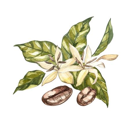花コーヒー アラビカ豆分離、水彩のイラストです。 写真素材