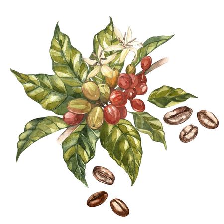 Rode koffie arabica bonen op tak met geïsoleerde bloemen, aquarel illustratie. Stockfoto