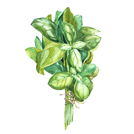king thailand: Botanical drawing of a basil leaver. Watercolor beautiful illustration of culinary herbs used for cooking and garnish. Isolated on white background