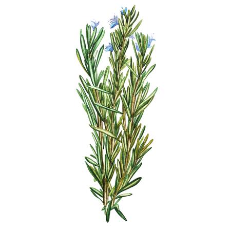 Botanische tekening van een rozemarijn. Aquarel mooie illustratie van culinaire kruiden gebruikt voor het koken en garneer. Geïsoleerd op witte achtergrond