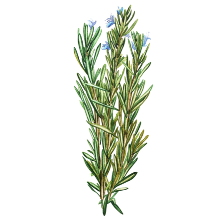 Botanical drawing of a rosemary. Watercolor beautiful illustration of culinary herbs used for cooking and garnish. Isolated on white background.