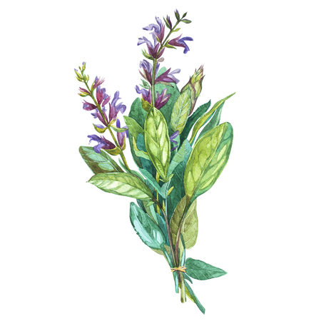 Botanical drawing of a Sage. Watercolor beautiful illustration of culinary herbs used for cooking and garnish. Isolated on white background.