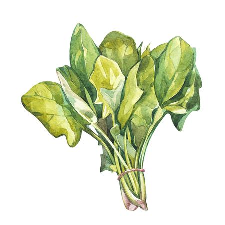 ほうれん草の植物園。料理用のハーブ料理と付け合わせ用の水彩イラスト。白い背景に分離 写真素材