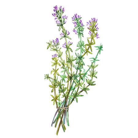 植物園、タイムの図面します。料理用のハーブ料理と付け合わせ用の水彩イラスト。白い背景に分離