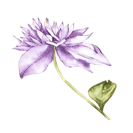 Illustration in watercolor of a clematis flower blossom. Floral card with flowers. Botanical illustration