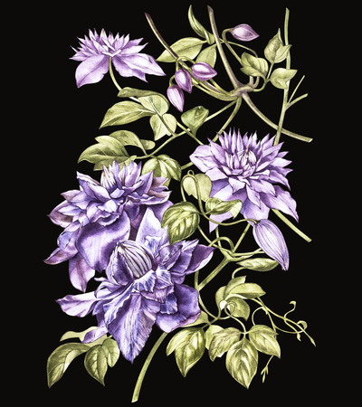 clematis: Illustration in watercolor of a clematis flower blossom. Floral card with flowers. Botanical illustration.