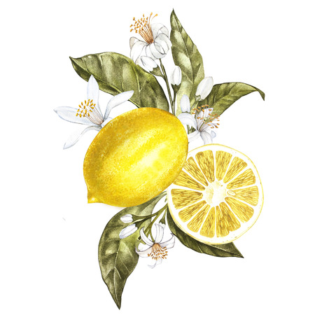 Branch of watercolor lemon tree with leaves, yellow lemons and flowers. Hand drawn watercolor elements for your design. Isolated on white Stock Photo