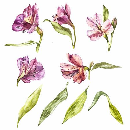Set watercolor illustrations of lily flowers. Botanical illustration.