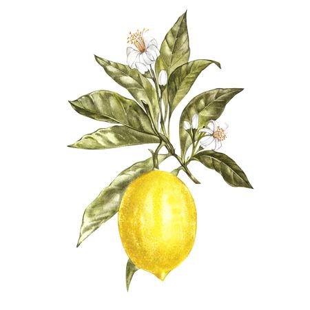 葉、黄色のレモンと花を水彩のレモンの木の枝。手には、あなたのデザインの水彩画の要素が描画されます。白で隔離。