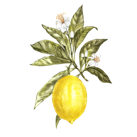 Branch of watercolor lemon tree with leaves, yellow lemons and flowers. Hand drawn watercolor elements for your design. Isolated on white.