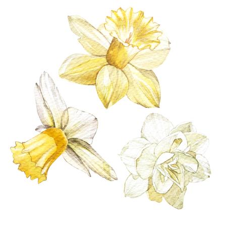新鮮な黄色の水仙の手描き水彩画ボタニカル イラストのセットです。招待状、映画のポスター、ファブリック、その他のオブジェクトのデザインの