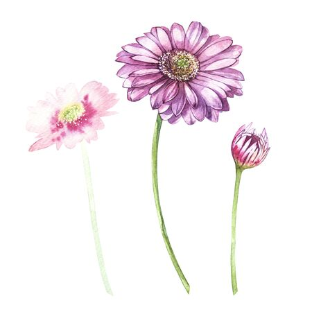 Illustration in watercolor of Gerbera flower. Floral card with flowers. Botanical illustration.