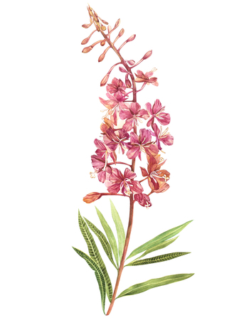 Illustration in watercolor of Willow-nerb. Floral card with flowers. Botanical illustration.