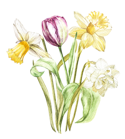 Spring flowers narcissus and tulip isolated on white background. Watercolor hand drawn illustration
