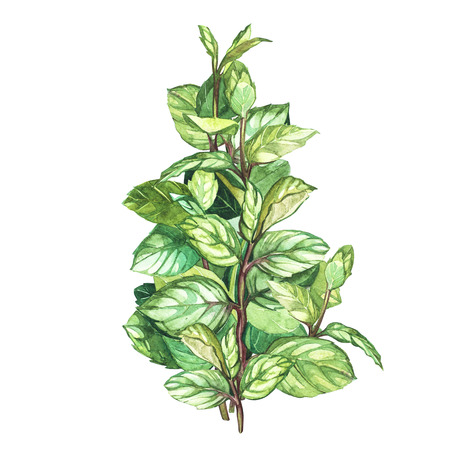 Botanical drawing of a oregano. Watercolor beautiful illustration of culinary herbs used for cooking and garnish. Isolated on white background.