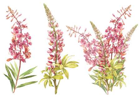 Illustration in watercolor of Willow-nerb and Lupine. Floral card with flowers. Botanical illustration. Stock Photo