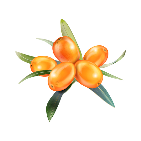 Sea buckthorn isolated on the white. Vector illustration in 3d style. The concept of realistic image of medical plants, herbs. Designed to create package of health, beauty natural products. Çizim