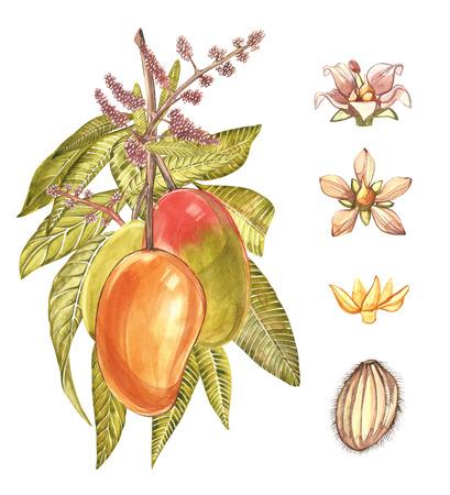 leaf logo: Mango tree vintage design template. Watercolor botanical illustration. Mango Fruit Isolated on white background.