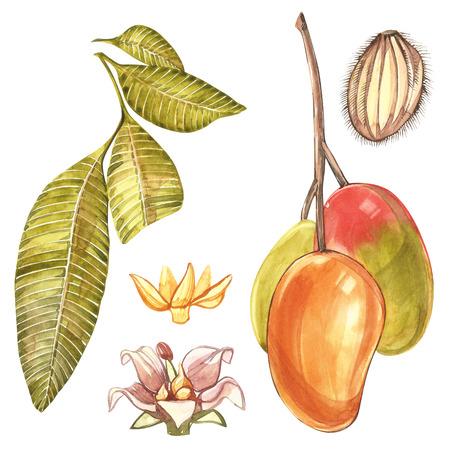 leaf logo: Set of Watercolor botanical illustration. Mango Fruit and flowers isolated on white background Stock Photo