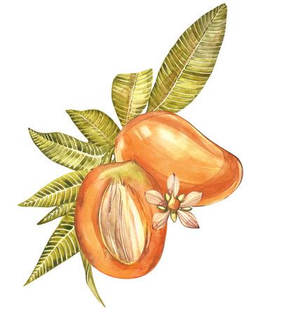 leaf logo: Mango fruits vintage design template. Watercolor botanical illustration. Mango Fruit Isolated on white background.