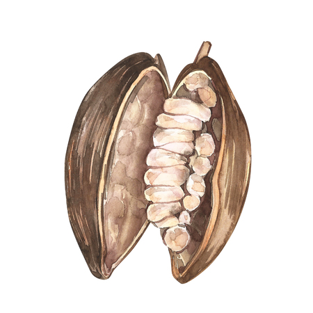 Set of botanical illustration. Watercolor cocoa bean collection isolated on white background. Hand drawn exotic cacao plants.