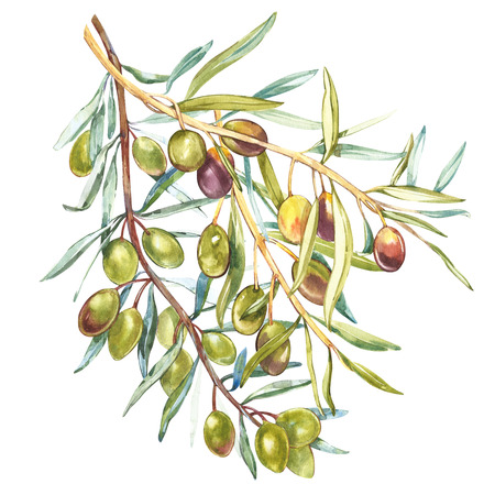 Watercolor realistic illustration of black and green olives branch isolated on white background. Design for olive oil, natural cosmetics, health care products.