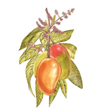 leaf logo: Set of Watercolor botanical illustration. Mango Fruit and flowers isolated on white