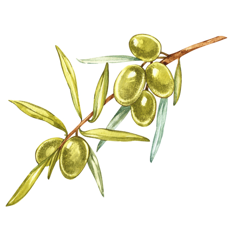 Watercolor realistic illustration of green olives branch isolated on white background. Design for olive oil, natural cosmetics, health care products.