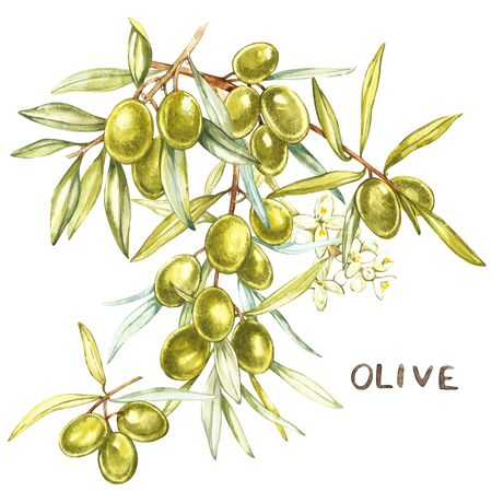 mediterranean diet: A branch of juicy, ripe green olives and flowers on a white background. Botanical illustration for packaging design. Letter-Olive.