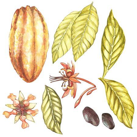 식물 그림의 집합입니다. 수채화 코코아 열매 컬렉션 흰색 배경에 고립. 손으로 그린 이국적인 카카오 식물
