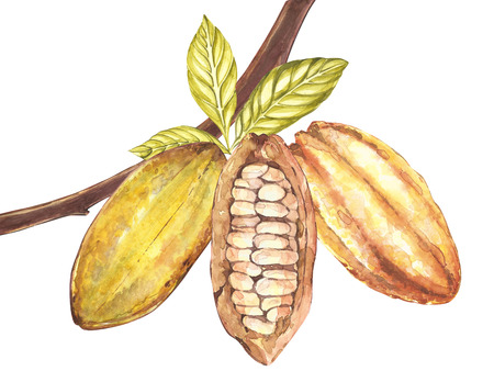 Satz der botanischen Illustration. Aquarellkakaofruchtansammlung lokalisiert auf weißem Hintergrund. Hand gezeichnete exotische Kakaopflanzen. Botanischer Kakaobohnenrahmen. Platz für Text. Standard-Bild