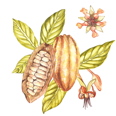 Set of botanical illustration. Watercolor cocoa fruit collection isolated on white background. Hand drawn exotic cacao plants